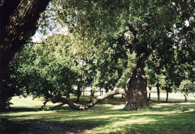 Ancient oak tree at Radley College known as the Radley Oak, October 2000